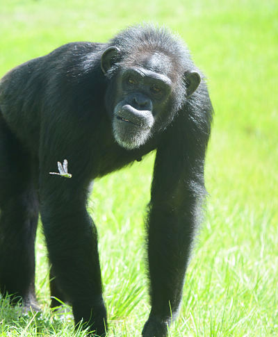 Chimpanzee at Save the Chimps sanctuary